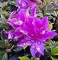Kriechende Immergrüne Zwerg Azalee Galapagos 15-20cm - Rhododendron nakaharai von Baumschulen auf Du und dein Garten