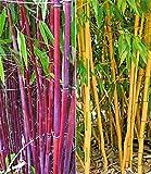 BALDUR-Garten Bambus-Raritäten Kollektion,2 Pflanzen