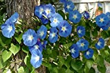 graines Seed IPOMEE BLEUE fleur annuelle grimpante