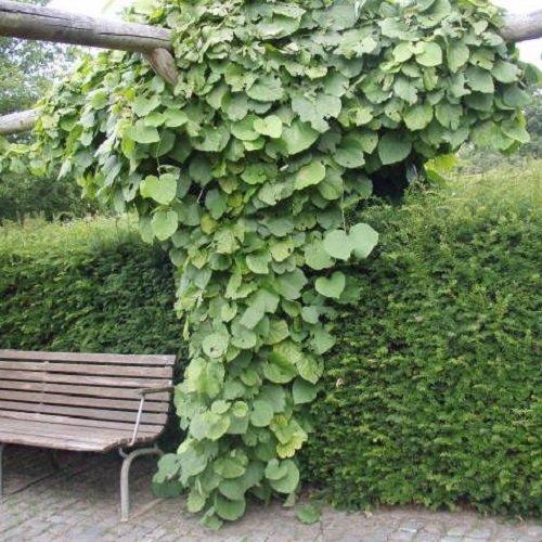 Pfeifenwinde / Pfeifenblume (Aristolochia macrophylla (durior)) - 1,5 Liter Topf - Winterhart - Gelb/Ggrün | ClematisOnline Kletterpflanzen & Blumen