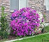 E Garden Aubrieta Mix (Rock Cress) – Large Flowered Hybrid 20 Seeds