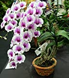 #8: M-Tech Gardens Rare Dendrobium Orchid Cartoon Compactum 1 Small Healthy Live Plant with Pot