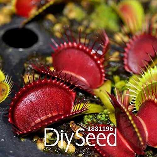 Les meilleures ventes! 100 PCS / Lot Red Dragon Flytrap Seed Bonsai pot Dionaea Plante Terrasse Jardin Plante carnivore, # K8