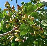 10 Semi di Pistacchio albero TRZ045 (Pistachia Vera)