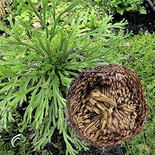ESHOO 1 Stück Auferstehungsanlagen Hydrophile Jericho Rose Pflanze