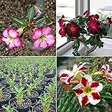 FOReverweihuajz 20Stk neu Adenium obesum Seeds Wüste Rose Pflanzen Samen Garten Bonsai Pflanze