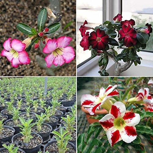 pittospwer 20pcs semi di adenium obesum desert rose pianta perenne fiore giardino bonsai