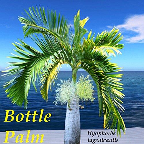Portal Cool Flasche Palm Flaschenpalme 30 frische Samen u werden Besten Seed Von Hawaii Get