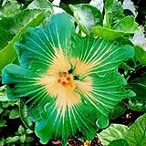 En soldes!!! Les graines d'arbres HIBISCUS rosa-sinensis fleur d'hibiscus graines de graines 200pcs Hibiscus pour les plantes en pot de fleurs
