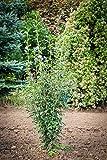Garteneibisch Marina LH 40-60 cm mit Ballen, Zierstrauch blau-lila blühend, Solitär Busch-Baum für Sonne-Halbschatten, Gartenpflanze winterhart, Hibiscus syriacus
