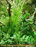 Mühlan - 4 getopfte Aquariumpflanzen, 6 Bund Aquarienpflanzen + 2 Mooskugeln + Dünger - Asien Wasserpflanzensortiment