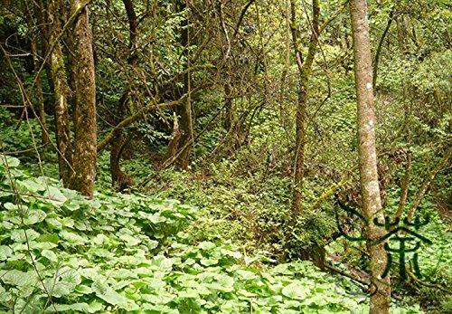 1000pcs Mustard Wasabia Japonica japonais, Perennial Herb japonais raifort Vegetable Seeds, Famille Brassicaceae Wasabi Seeds