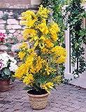 25 graines de Mimosa d'hiver / Acacia Dealbata / un noble plante méditerranéen pour maison, jardin, terrasse et balcon