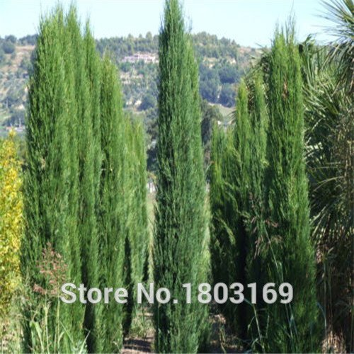 vente Hot 100 graines / pack cyprès graines Conifer semences maison jardin