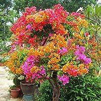 Ncient 10/20/ 50 Semillas Buganvillas Semillas Flores Raras Colores Semillas Aromaticas Plantas Bonsai para Maceta Jardín Balcon Interior y Exteriores