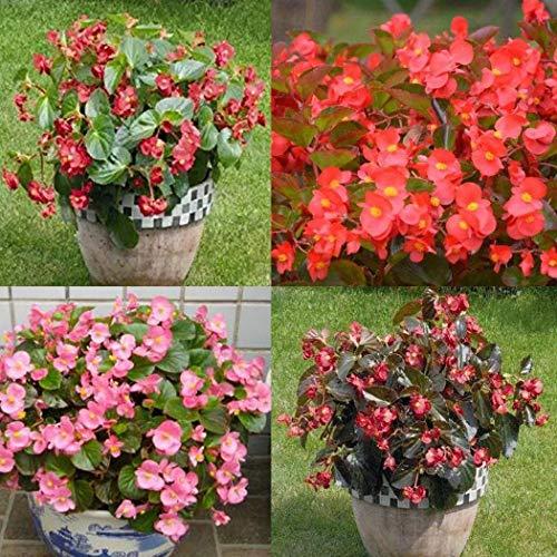 Cioler Seme di fiore- 100pcs Semi di Begonia, Perenne piante ornamentali in vaso Semi rari fiori ornamentali per il giardino di casa
