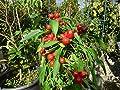 10 Samen Satans Kiss Chili - italienische Sorte, schnellwachsend