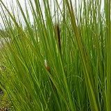 lichtnelke - Lampenputzergras (Pennisetum alopecuroides ) Moundry