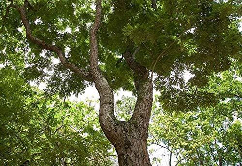 PLAT FIRM GERMINATIONSAMEN: 100 Samen: China duftend Palisander (Dalbergia odorifera T. Chen) gelb Palisander Baum Samen fre