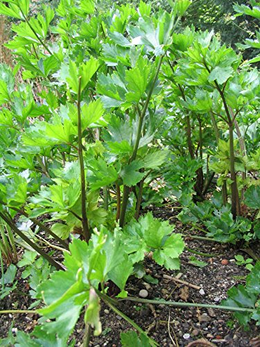 Wilder Sellerie (Apium graveolens) 1000 Samen Schnittsellerie