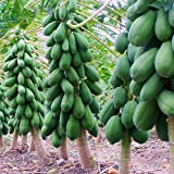 #7: Garden Care Papaya Seeds - Dwarf Variety Huge Production Hybrid Seed- 2 Pack Of 50 Seeds Each