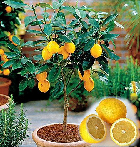mini-lemon-tree-seeds-pack-of-10-lemon-citrus-suitable-for-bonsai