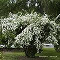 Prachtspiere Spiraea vanhouttei Größe wählbar von VDG-KL-Baumschule - Du und dein Garten
