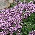 2000 Samen Purple Thymian, Sandthymian - idealer Bodendecker von Samenfritze auf Du und dein Garten