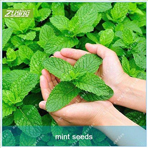 Galleria fotografica ZLKING 100 pc cinese Peppermint Spezie Verdure Bonsai Seeds Togliere Bocca Odore Menta fresca biologica erba medicinale Aroma