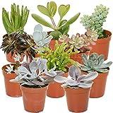 Best Mixed Indoor Plants - Succulent Mix - 10 Plants - House / Review