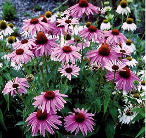 Tomasa Samenhaus- Sonnenhut 'Magnus', Sommer Blumensamen Saatgut winterhart mehrjährig Blumen bienenfreundliche Gartensamen (#01)