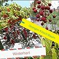 25x Orangen Kirsch Baum Samen Hingucker Obst Pflanze Baum Rarität essbar lecker Idesia Polycarpa #128 von Import - Handel Ipsa auf Du und dein Garten