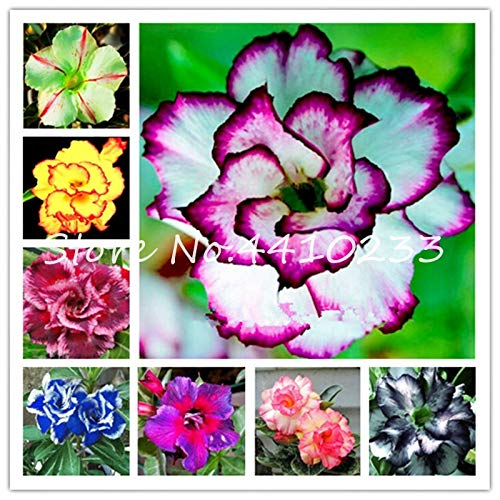 GEOPONICS SEMI: 2 pezzi di vero Adenium Esotico Fiore rosa del deserto Bonsai Fiori in vaso Balcone Bonsai Multi-Color Petali Piante grasse Tree: mix