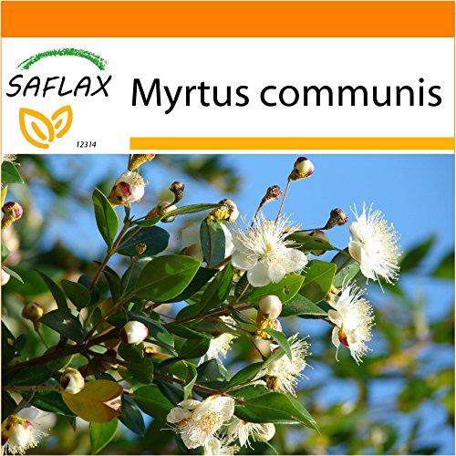 Galleria fotografica SAFLAX - Garden in the Bag - Mirto - 30 semi - Myrtus communis