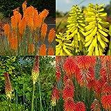 lichtnelke - 3 Stk. Fackellilien – Mix * Feuerwerk im Garten * leuchtende Farbe