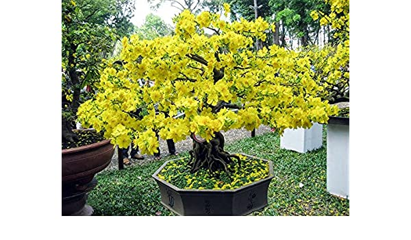 5 Samen Ginkgo biloba Bonsai geeignet Ginkgobaum
