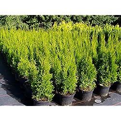 Säulen-Lebensbaum Smaragd Containerpflanzen 80-100 cm