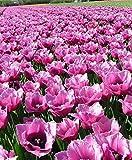 Portal Cool 10 X Humphreys Garden 'Louvre' flecos bulbos del tulipán, impresionante Rosa Lila Flores