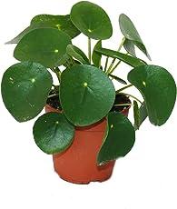 Pilea peperomioides - Glückstaler - Chinesischer Geldbaum - Bauchnabelpflanze im 11cm Topf