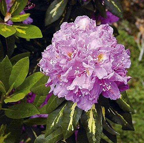 Großblumige Rhododendron Goldflimmer 30-40cm - Alpenrose