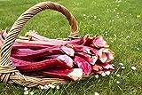 Semi del rabarbaro - Rheum rhaponticum