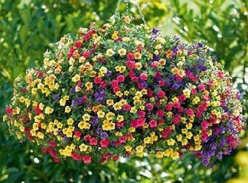 Flower Seeds : Petunia Star Mixed Flower Seeds – Kitchen Garden Pack by Creative Farmer
