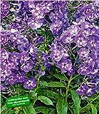 BALDUR-Garten Duft-Phlox 'Violett-Blau', 3 Knollen Flammenblume winterhart