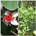 Ananasguave, Brasilianische Guave Acca sellowiana, Feijoa, Mammouth 2 Liter Topf von Grüner Garten Shop bei Du und dein Garten