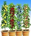 BALDUR-Garten Säulen-Obst-Kollektion Birne, Kirsche, Pflaume & Apfel, 4 Pflanzen von Baldur-Garten - Du und dein Garten