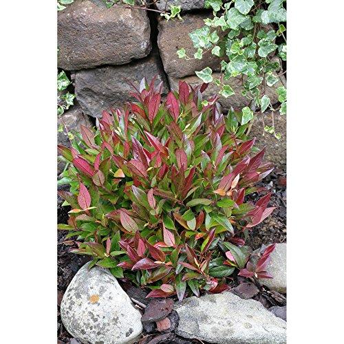 OBI Solitärpflanze, Kübelpflanze