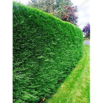 5 Leyland Cypress//Green Leylandii 30-40cm in 9cm Pots Evergreen Hedging 3fatpigs/®