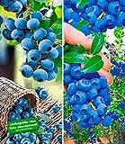 BALDUR-Garten Heidelbeer-Sortiment Trauben-Heidelbeere Reka und Heidelbeere Hortblue Blaubeeren...