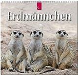 Erdmännchen 2016: Original Stürtz-Kalender - Mittelformat-Kalender 33 x 31 cm [Spiralbindung]