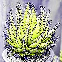 Zimmerpflanzen Sukkulenten suchergebnis auf amazon de für sukkulenten samen svi samen